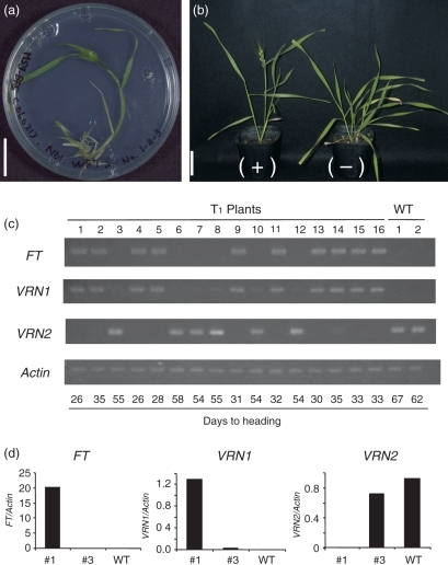 Analysis of phenotype and gene expression in transgenic wheat transformed with a 35S:VRN3-D construct. (a) A spikelet emerged from a transgenic T0 plant grown in a petri dish at the three-leaf stage under short-day (SD; 8-h light/16-h dark) conditions at 25°C. Scale bar: 2 cm. (b) Transgenic T1 plants derived from a T0 plant showing segregation for the presence (+) or absence (−) of the transgene. The T1-positive plant (left) showed early heading. The T1 (+) and (−) plants illustrated here correspond to plants 1 and 3 in (c), respectively. The plants were grown under SDs (10-h light/14-h dark) at 20°C, and were photographed at 64 days after sowing. Scale bar: 5 cm. (c) The expression of FT, VRN1 and VRN2 in T1 plants segregating for the FT transgene, and in non-transformants (i.e. wild type, WT). RT-PCR analysis was performed using the seedlings at the one-leaf stage. Gene expression levels were compared at the exponential phase of RT-PCR amplification. The Actin gene was used as an internal control. Numbers indicate the days to heading in each T1 plant. The plants were grown under SDs (10-h light/14-h dark) at 20°C. (d) Expression levels of FT, VRN1 and VRN2 in transformants 1 (positive) and 3 (negative), and non-transformant (WT) determined by real-time PCR analysis. The mRNA levels were normalized against the mRNA level of Actin.