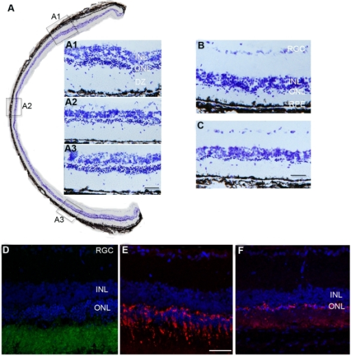 Rod and cone protection.A. Retinal sections stained with cresyl violet indicate substantial preservation of photoreceptors across the retina in MSC treated eyes at P90, while in control eyes (sham injected (B) and untreated (C)): only a single layer of photoreceptors remained. A1, A2 &A3: higher power images showing preservation of photoreceptors from the insets A1, A2 &A3 in A. D, E&F: confocal images showing rhodopsin (green in D) and cone arrestin (red in E) positive staining at P90 in MSC treated retina, while in sham injected retina, cone arrestin staining was dramatically reduced (F). All sections were counterstained with DAPI (blue) (scale bars equal 50 µm).