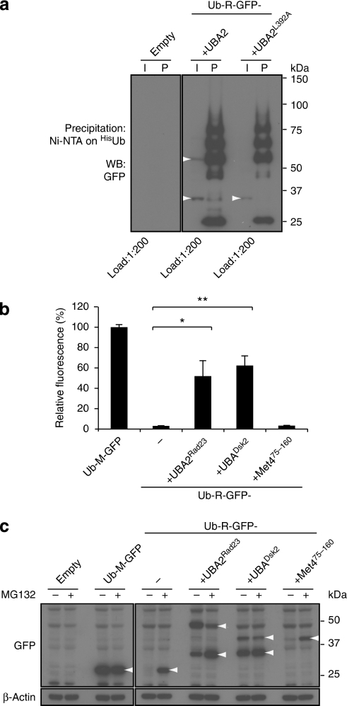 Different stabilizing potentials of UBA and UIM domains.(a) Ub-R-GFP-UBA2 and Ub-R-GFP-UBA2L392A were expressed in yeast together with His-tagged ubiquitin. Ubiquitylated proteins were precipitated using Ni beads and probed with a GFP-specific antibody. Input (I) and precipitated (P) samples are shown. Ub-R-GFP-UBA2 and Ub-R-GFP-UBA2L392A are indicated. Note that the upper band in the Ub-R-GFP-UBA2 corresponds with diubiquitylated Ub-R-GFP-UBA2. Molecular weight markers are indicated. (b) Relative fluorescence levels of yeast expressing the Ub-M-GFP, Ub-R-GFP, Ub-R-GFP-UBA2Rad23, Ub-R-GFP-UBADsk2 and Ub-R-GFP-UIMMet4 analysed by flow cytometry. Ub-M-GFP was standardized as 100%. Values are means and standard deviations (n=3). *P<0.05, **P<0.01 (Student's t-test). (c) Western blot analysis with GFP-specific antibody of steady-state levels of Ub-M-GFP, Ub-R-GFP, Ub-R-GFP-UBA2Rad23, Ub-R-GFP-UBADsk2 and Ub-R-GFP-UIMMet4 in the absence or presence of 50 μM proteasome inhibitor MG132. Note that the upper bands correspond with diubiquitylated Ub-R-GFP-UBA2Rad23 and putative monoubiquitylated Ub-R-GFP-UBADsk2. β-Actin is shown as loading control. Molecular weight markers are indicated. Specific bands are indicated with arrowheads.