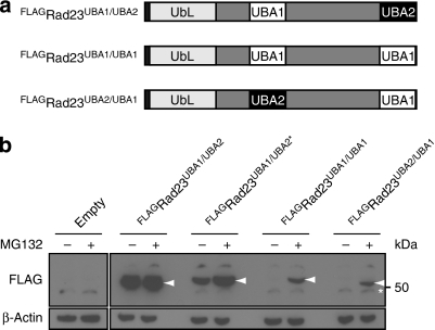 A C-terminal UBA1 domain does not protect from degradation.(a) Schematic drawing of the positions of the UBA1 and UBA2 domains in wild-type Rad23 (Rad23UBA1/UBA2), Rad23UBA1/UBA1 and Rad23UBA2/UBA1. (b) Steady-state levels of FLAG-tagged Rad23UBA1/UBA2 (wild-type), Rad23UBA1/UBA2* (Rad23L392A), Rad23UBA1/UBA1 and Rad23UBA2/UBA1 were determined with a FLAG-specific antibody. Arrows indicateFLAGRad23 bands. β-Actin is shown as loading control. Molecular weight marker is indicated. Asterisk indicates a non-specific band.