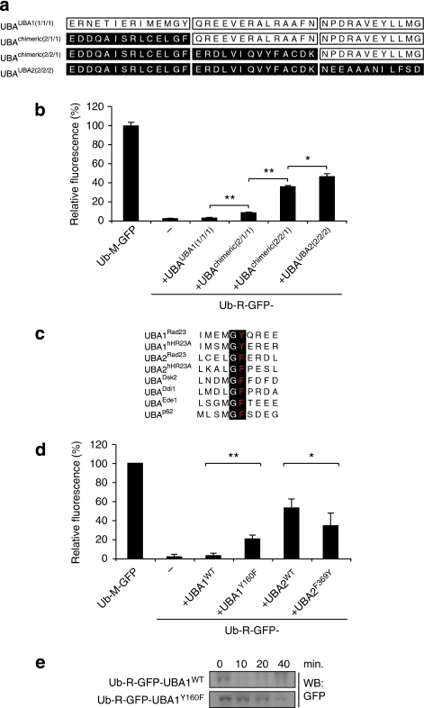 A conserved motif contributes to the protective effect.(a) Schematic representation of the generation of chimeric UBA1/UBA2 domains. (b) Relative fluorescence levels of yeast cells expressing Ub-R-GFP with C-terminal UBA1, UBA2 and chimeric UBA domains analysed by flow cytometry. Values are means and standard deviations (n=3). *P<0.05, **P<0.01 (Student's t-test). (c) Alignment of the Xaa-Gly-Phe/Tyr-Xaa motif in the loop between helix 1 and helix 2 of a number of UBA domains. (d) Relative fluorescence levels of yeast cells expressing Ub-R-GFP-UBA1, Ub-R-GFP-UBA1Y160F, Ub-R-GFP-UBA2 and Ub-R-GFP-UBAF369Y analysed by flow cytometry (the numbers refer to positions of these amino acids in Rad23). Values are means and standard deviations (n=6). *P<0.05, **P<0.01 (Student's t-test). (e) Turnover of Ub-R-GFP-UBA1 and Ub-R-GFP-UBA1Y160F. Samples were taken at the indicated time points and probed with a GFP-specific antibody.