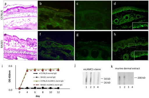 Passive transfer of rabbit anti-mLAMC1-cterm IgG into adult mice is not pathogenic.Rabbit IgG against the murine laminin γ1 C-terminus (mLAMC1-cterm) was not pathogenic when passively transferred into adult C57BL/6 and BALB/c mice. Injection of 15 mg rabbit anti-mLAMC1-cterm IgG every second day for 10 days did not result in clinical or histopathological (a, e) lesions on day 12. Linear deposition of rabbit IgG at the dermal-epidermal junction (DEJ) was only observed in 2 of 5 C57BL/6 (b) and one of 5 BALB/c mice (f), while staining of murine C3 was negative in all mice (c, g). At day 12, in sera of all 10 mice, rabbit IgG labeled the basal keratinocytes at the DEJ of normal mouse skin (d, h) and reacted with recombinant mLAMC1-cterm by ELISA (i) and immunoblotting (j, C57BL/6, lanes 1; BALB/c, lane 2) and the 200 kDa p200 protein in extract of murine dermis (k, C57BL/6 lane 1; BALB/c, lane 2). Normal mouse sera (j and k, C57BL/6, lane 3; BALB/c, lane 4) were used as controls.