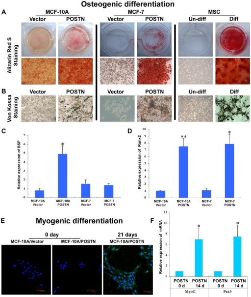 POSTN induces osteoblastic and myogenic differentiation.A, B. Following culture in osteoblastic differentiation media for 21 days, MCF-10A/POSTN, MCF-7/POSTN cells and hMSCs were positive for alizarin red S and von Kossa staining. C, D. Relative levels of mRNAs encoding BSP and Runx2 in MCF-10A and MCF-7 cells expressing the vector or POSTN were determined by real-time RT-PCR. Cyclophilin G mRNA was used to normalize the variability in template loading. The data are the means ± SD. *P<0.05, **P<0.01. E. Following myogenic differentiation for 4 weeks, MCF-10A/POSTN cells stained positive for CD56. MCF-7/POSTN cells died under the same myogenic differentiation condition and did not differentiate into myogenic lineages (data not shown). F. Real-time RT-PCR analysis of MyoG and Pax3 showing the expression of myogenic markers. The data are the means ± SD. *P<0.05.