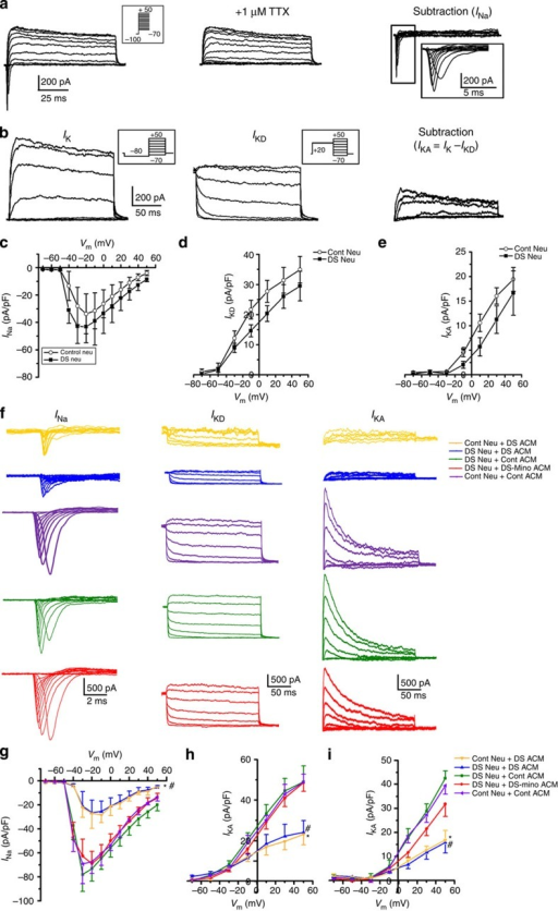 The effects of DS astroglia on the maturation of voltage-gated ionchannels.(a) Representative tracings showing that the inward sodium currents(INa) were recorded from a DS neuron (left panel). TheINa can be blocked by 1 μMTTX (middle panel).The tracing of right panel was obtained by digitally subtracting the middlepanel from the left panel to show the INa component. TheINa was elicited by a series of depolarizing voltagesteps (inset, from −70 to −50 mV) after aprepulse to −100 mV for 100 ms. Similarresults were observed from 10 other cells. (b) Representativetracings showing potassium currents (IK) recorded from aDS neuron in the presence of TTX. Left panel, the overall IKrecorded with voltage clamp at voltages from −70 to−50 mV (inset, 200 ms duration,20 mV increments) preceded by a prepulse conditioning potentialof −80 mV, 300 ms. With a prepulse to−80 mV, the overall IK includesIKA and sustained outward current IKD.Middle panel, IKD recorded with voltage clamp at voltagesfrom −70 to −50 mV (inset,200 ms duration, 20 mV increments) preceded by aprepulse conditioning potential of +20 mV, 300 ms. Theprepulse to +20 mV inactivates IKA component.Right panel, the IKA component obtained by digitallysubtracting the IKD, middle panel from theIK, left panel. (c–e) TheI–V relationship of INa,IKD and IKA recorded from DS neuronsand control (Cont) neurons. Pooled data, n=10 for each group.(f) Representative tracings showing the INa,IKD and IKA recorded from Contneurons cultured with DS ACM and Cont ACM, and DS neurons cultured with DSACM, Cont ACM and DS-MinoACM. (g–i) I–Vrelationship of INa, IKD andIKA recorded from DS and Cont neurons fed withdifferent ACM. The current densities of INa,IKD and IKA recorded from neuronsfed with DS ACM were smaller than those recorded from neurons fed with ContACM and DS-Mino ACM;one-way analysis of variance test, *P<0.05, comparison betweenCont Neu+DS ACM group with other groups fed with Cont ACM andDS-Mino ACM.#P<0.05 comparison between DS Neu+DS ACMgroup with other groups fed with Cont ACM and DS-Mino ACM. n=10 for eachgroup. Data are presented as mean±s.e.m.