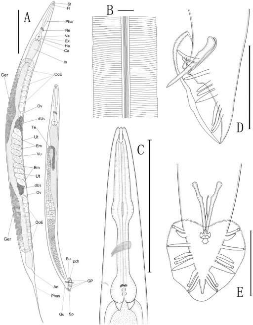 "Line drawings of Caenorhabditis sinica sp. n.A: Overall anatomy of female (left) and male (right)[St: stoma, Fl: flap, Phar: pharynx, Ne: nerve ring, Va: valvular apparatus, Ha: haustrulum, Ex: excretory pore, Ca: cardia (the pharyngo-intestinal valve), In: intestine, Ger: ""germigen"" containing a well-developed central rachis surrounded by a layer of germ cells, OoE: elongated oocytes, Ov: oviduct, dUs: the distal part of anterior/posterior uterus filled with sperms, Ut: uterus, Em: embryos carried by the uteri, Vu: vulva, An: anus, Phas: phasmid, Te: testis, Bu: bursa, GP: genital papillae, Gu: gubernaculum, Sp: spicule, pch: precloacal hook]; B: Morphology of lateral field (3 ridges flanked by two additional incisures); C: Anterior region of female; D: Lateral view of male caudal region; E: Ventral view of male caudal region with bursa and genital papillae. (Scale bars: A = 200 µm; B = 10 µm; C = 150 µm; D, E = 50 µm)."