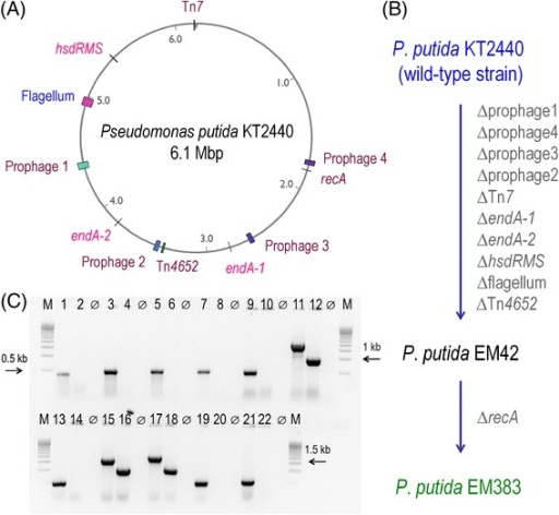 Operons and genomic regions deleted inP.putidaKT2440 to construct a cell factory strain. (A) Position of the eleven gene(s)/regions deleted in wild-type P. putida KT2440 indicated in the physical map of the chromosome. (B) Roadmap for the construction of strains EM42 and EM383. Relevant genes are depicted in the order in which they were eliminated (see also Additional file 1: Table S1). (C) Electrophoresis of the diagnostic PCR amplifications to confirm the deletions. The flanking lanes (M) correspond to a DNA ladder [500-bp Molecular Ruler EZ Load™ (Bio-Rad Corp., Berkeley, CA, USA)], and lanes identified as ϕ are negative controls, i.e., samples without DNA template. The photograph shows the products resulting from PCR amplifications of [i] an internal gene within prophage 1, KT2440 (lane 1) and EM383 (lane 2); [ii] an internal gene of prophage 2, KT2440 (lane 3) and EM383 (lane 4); [iii] an internal gene of prophage 3, KT2440 (lane 5) and EM383 (lane 6); [iv] an internal gene of prophage 4, KT2440 (lane 7) and EM383 (lane 8); [v] an internal gene of the hsdRMS operon, KT2440 (lane 9) and EM383 (lane 10); [vi] the TS1-TS2 region of recA, KT2440 (lane 11) and EM383 (lane 12); [vii] an internal gene of the Tn7-like operon, KT2440 (lane 13) and EM383 (lane 14); [viii] the TS1-TS2 region of endA-1, KT2440 (lane 15) and EM383 (lane 16); [ix] the TS1-TS2 region of endA-2, KT2440 (lane 17) and EM383 (lane 18); [x] an internal gene of the flagellar operon, KT2440 (lane 19) and EM383 (lane 20); and [xi] an internal gene of the Tn4652 operon, KT2440 (lane 21) and EM383 (lane 22). The details of primers sequence used in these amplifications are given in Additional file 1: Table S2.