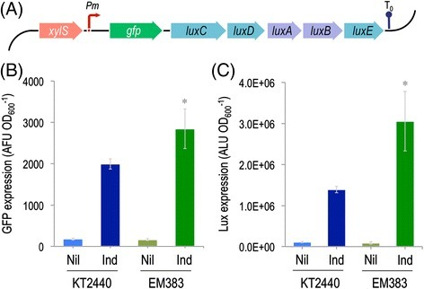 Evaluation ofP.putidaEM383 as achassisfor the heterologous expression ofgfpandluxCDABE. (A) Schematic representation of the bi-cistronic GFP-LuxCDABE reporter in which both gfp (GFP: green fluorescent protein) and luxCDABE (LuxC: fatty acid reductase, LuxD: acyl transferase, LuxE: acyl-protein synthase, LuxAB: luciferase) from Photorhabdus luminescens are placed under the control of the inducible Pm promoter. The activity of Pm is controlled by the transcriptional regulator XylS. The transcriptional terminator included in the plasmid backbone is depicted as T0. The elements in this outline, borne by plasmid pGL-XP, are not drawn to scale. The reporter plasmid pGL-XP was used to establish a comparison of the expression levels of gfp(B) and luxCDABE(C) in wild-type KT2440 and in the streamlined EM383 strain in response to 3-methylbenzoate. Overnight cultures in rich LB medium were diluted to an optical density at 600 nm (OD600) of 0.1, cells were further grown for 2 h, and then induced with 1 mM 3-methylbenzoate for 24 h. The reporter expression level was calculated by dividing either the arbitrary fluorescence units (AFU) or the arbitrary luminescence units (ALU) by the OD600. The bars represent the media and SD of three measurements from biological triplicates. Nil, no inducer; Ind, induced. The asterisk (*) indicates a significant difference for strain EM383 as compared to wild-type KT2440 according to the Student's t test (P <0.05).