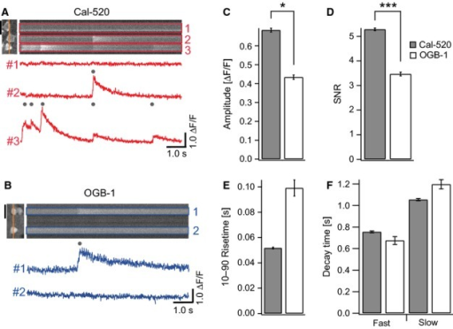 Properties of calcium transients in neocortical neurons in vivo measured with Cal-520 and OGB-1. Representative linescan imaging from somata of layer 2/3 neurons labeled with Cal-520 (A) or OGB-1 (B). Scale bars, 20 μm. Upper right: linescan images obtained at the position indicated by the orange lines in the upper left panels. Lower: spontaneous calcium transients recorded at the regions of interest shown as the rectangles in the upper right panels. Gray dots indicate calcium transients detected from the baseline noise. (C–F) Bar graphs showing the properties of calcium transients measured with Cal-520 (filled columns) or OGB-1 (open columns). Cal-520 showed higher mean amplitude of calcium transients than OGB-1 (C), resulting in higher SNR (D). Rise times (E) and decay time constants (F) of calcium transients were indistinguishable between Cal-520 and OGB-1. *P<0.05, ***P<0.001.