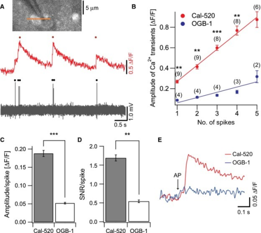 Simultaneous recordings of calcium transients and APs in neocortical neurons in vivo. (A) Representative traces of simultaneous recordings of calcium transients (upper) and APs (lower). (B) Peak amplitude of calcium transients increased proportionally with the number of APs. Lines show linear fit to the data (Spearman's ρ, 0.997 for Cal-520 and 0.939 for OGB-1). Values given in parentheses indicate the number of cells. The data for one and two spikes for OGB-1 were obtained by spike-triggered average of fluorescence traces. **P<0.003, ***P<0.0001. (C) The amplitude and (D) SNR of calcium transients normalised by the number of APs (n = 9 cells for Cal-520, n = 4 cells for OGB-1). **P=0.002, ***P<0.001. (E) Average traces of calcium transients in response to a single AP measured with Cal-520 (red, n = 9 cells) or OGB-1 (blue, n = 4 cells). Note that Cal-520 could clearly detect calcium signals by single APs.