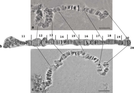 Comparison of the 2R chromosome arm between B. dorsalis s.s. and its hybrids with B. carambolae and B. invadens. a) chromosome arm 2R of the F1 hybrid of B. dorsalis s.s. × B. carambolae, b) reference map of chromosome arm 2R of B. dorsalis s.s. and c) chromosome arm 2R of the F1 hybrid of B. dorsalis s.s. × B. invadens. Note the banding pattern similarity. Scale bar represents 10 μm.