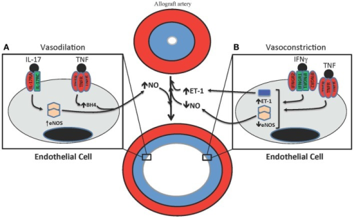 T cell-mediated effects on vasodilation and vasoconstriction in allograft arteries. (A) TNF and IL-17 are produced by T cells in allograft arteries. TNF acutely increases NO production from the endothelium by increasing eNOS activity through the up-regulation of tetrahydrobiopterin (BH4) synthesis. IL-17 increases NO production by increasing expression of eNOS. (B) IFNγ and TNF contribute to the vasoconstriction of allograft arteries by inhibiting the expression of eNOS, which reduces the levels of bioactive NO, as well as by increasing the production of the vasoconstrictive peptide ET-1.