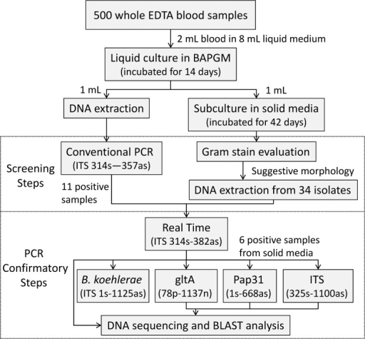 Flowchart of the culture and PCR-based procedures performed to determine Bartonella prevalence in 500 blood donors from Campinas, Brazil.