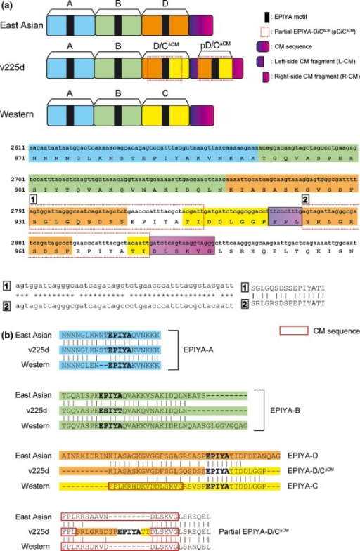 Schematic view of CagA. (a) Upper panel: Schematic view of the EPIYA-repeat region of ABD-type East Asian CagA, ABC-type Western CagA and v225d CagA. Lower panel: sequences of the EPIYA-repeat region of v225d CagA. Gene sequences and amino acid sequences are shown in lower case letters and upper case letters, respectively. v225d CagA has EPIYA-A, EPIYA-B and EPIYA-D/CΔCM segments. The 4th to 10th amino acids in the distal CM sequence are replaced by the partial EPIYA-D/CΔCM segment (pD/CΔCM, red dotted square). (b) Sequence diversity in the EPIYA-repeat region of CagA. CM sequences are shown in red squares. ABD-type East Asian CagA has a distal CM sequence. ABC-type Western CagA has a proximal CM sequence and a distal CM sequence. In contrast, v225d CagA does not have a canonical CM sequence.