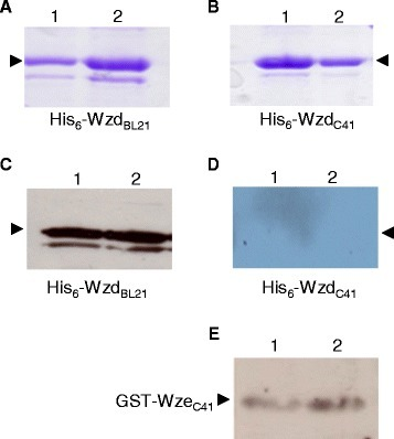 Western immunoblot of the phosphorylation state of His6-Wzd and GST-Wze proteins expressed inE. coli. Tyrosine phosphorylation of His6-Wzd and GST-Wze was detected by using Western immunoblotting with a mouse monoclonal antibody. Coomassie stained 12% SDS-PAGE gel of His6-Wzd expressed in E. coli BL21(DE3) (A) and C41(DE3) (B): incubated with 10 mM ATP (Lane 1) and without ATP (Lane 2). (C) Detection of tyrosine phosphorylated His6-Wzd expressed in E. coli BL21(DE3) and incubated with 10 mM ATP (Lane 1) and without ATP (Lane 2). (D) Absence of detection of tyrosine phosphorylated His6-Wzd expressed in E. coli C41(DE3) and incubated with 10 mM ATP (Lane 1) and without ATP (Lane 2). (E) Detection of tyrosine phosphorylated GST-Wze expressed in E. coli C41(DE3) incubated with 10 mM ATP (Lane 1) and without ATP (Lane 2).