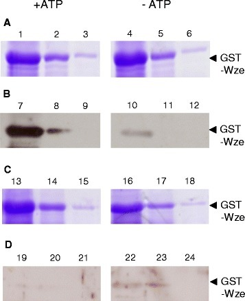 Detection of tyrosine phosphorylated GST-Wze released in the wash fractions. GST-Wze in wash fractions in the presence of 10 mM ATP (1–3 and 7–9) and absence of ATP (4–6 and 10–12) from interaction of GST-Wze with resin-bound His6-Wzd expressed by E. coli BL21(DE3): (A) Coomassie stained 12% SDS-PAGE gel and (B) Western blot probed with mouse monoclonal anti-phosphotyrosine antibody. GST-Wze in wash fractions in the presence of 10 mM ATP (13–15 and 19–21) and absence of ATP (16–18 and 22–24) from interaction of GST-Wze with His6-Wzd expressed by E. coli C41: (C) Coomassie stained 12% SDS-PAGE gel and (D) Western blot probed with mouse monoclonal anti-phosphotyrosine antibody.