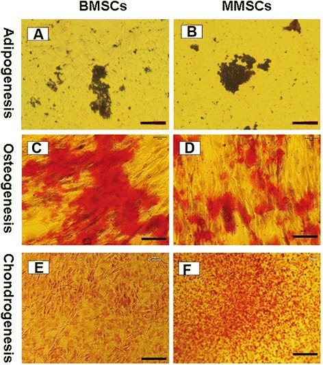 Histochemical staining of differentiated cells and semi-quantification of the extent of cell differentiation. Both BMSCs and MMSCs were able to differentiate into adipocytes (A, B), osteocytes (C, D), and chondrocytes (E, F), as shown by the accumulation of lipid droplets, proteoglycans and calcium deposits on cell surfaces. However, higher extent of osteogenic differentiation in BMSCs was evidenced by the most positive staining areas through Alizarin Red S assay. Conversely, much higher potential of chondrogenic differentiation in MMSCs was verified by Safranin O staining. Note that each experiment was repeated three times using five different donors. (P < 0.05) (Magnification of microscopy: 20×) (Bar: 50 μm).