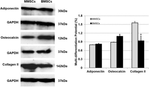 Representative western blots of differentiated BMSCs and MMSCs. Collagen type II, the most important indicator for chondrogenesis, was expressed much higher in MMSCs than that in BMSCs. Meanwhile, BMSCs displayed higher expression of osteocalcin, a typical production of osteogenesis. Note that our data were normalized to GAPDH, and obtained from at least three independent experiments. (P < 0.05).