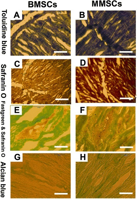 Histochemical staining on wounded meniscus cultured with BMSCs or MMSCs for 6 weeks. The meniscus was cut into 10 μm section and stained by toluidine blue (A, B), safranin O (C, D), fast green and safranin O (E, F), alcian blue (G, H). All imaging showed that more cartilage-related proteins were detected in the meniscus treated with MMSCs than BMSCs. (P < 0.05) (Magnification of microscopy: 20×) (Bar: 50 μm).