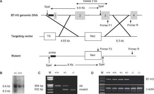 Generation and characterization of B7-H3 KO mice.(A) Mapping of the B7-H3 genomic locus, targeting vector, and the replaced allele. (B) Southern blot analysis of SpeI-digested DNA from targeted embryonic stem (ES) cell clones. The wild-type allele generated a 9.6-kb fragment, and the targeted allele yielded an 8.0-kb fragment. (C) PCR identification of genomic DNA isolated from tails of wild type (+/+), heterozygous (+/−) or homozygous (−/−) B7-H3 mutant mice. The wild type allele generated an 894-bp fragment and the targeted allele generated a 632-bp fragment. (D) Examination of B7-H3 mRNA by RT-PCR. The cDNA was generated from the spleens of wild type (+/+), heterozygous (+/−) or homozygous (−/−) B7-H3 mutant mice using primers specific for B7-H3 or β-actin (control).
