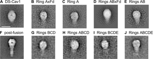 Negative stain-electron microscopy of RSV F glycoproteins stabilized by different C-terminal motifs.(A-J) shows typical 2D averaged classes of particles of negatively stained specimens for DS-Cav1 with various disulfide coiled-coil motifs. (A) DS-Cav control; (B) ring A with foldon; (C) ring A without foldon; (D) rings AB with foldon; (E) rings AB without foldon; (F) post-fusion F; (G) rings BCD without foldon; (H) rings ABCD without foldon; (I) rings BCDE without foldon; (J) rings ABCDE without foldon. The scale bar is 10 nm.