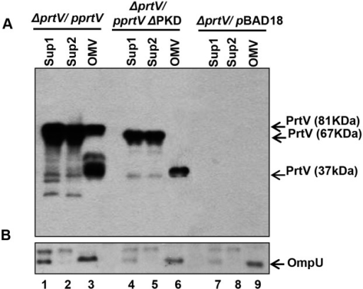 Immunoblot analyses of the wild type PrtV protein and its PKD domain deletion mutant in culture supernatants and OMV samples.Immunoblot analysis was performed using anti-PrtV antiserum (A) and anti-OmpU antiserum (B) with the following samples: lanes 1–3: V. cholerae ΔprtV strain carrying the cloned wild type allele of prtV; lanes 4–6: the ΔprtV strain carrying the cloned prtVΔPKD allele; lanes 7–9: the ΔprtV strain carrying the pBAD18 cloning vector. Lanes 1, 4 and 7 were loaded with supernatant samples before ultracentrifugation (Sup1). Lanes 2, 5 and 8 were loaded with the supernatants after ultracentrifugation (Sup2). Lanes 3, 6 and 9 were loaded with the OMV samples.