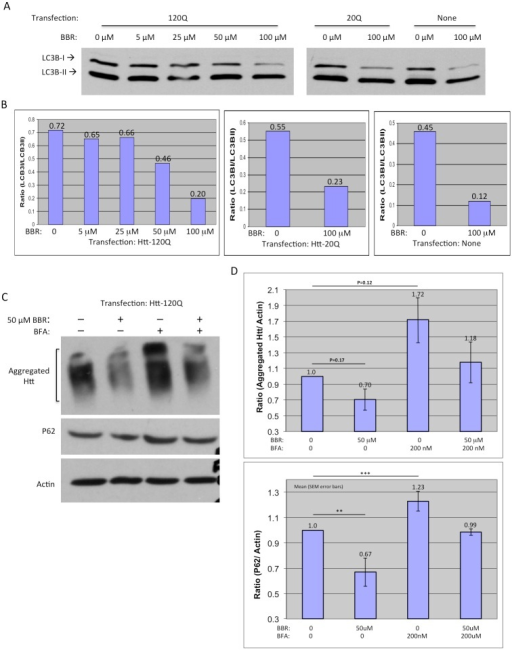 BBR increases autophagic activity in cultured cells.(A) Western blotting of LC3B in HEK293 cells transfected with or without Htt and treated with BBR (0, 5, 25, 50, or 100 μM). (B) Densitometry analysis of the ratios of LC3-I to LC3-II in above Western blots. (C) Western blotting of Htt-transfected HEK293 cells treated with or without 50 μM BBR or bafilomycin (BFA), an autophagy inhibitor. Antibody to P62, which decreases when autophagy activates, was used to confirm the altered activity of autophagy. (D) Densitometry analysis of the ratios of aggregated Htt or P62 to actin in Western blots in (C). The quantitative data are presented as mean±SE.