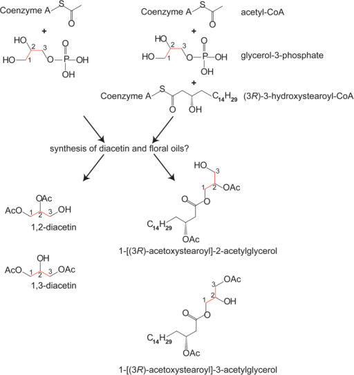 Diacetin is likely a derivative of the fatty floral oil biosynthesis.Schematic overview of proposed biosynthesis of diacetin and abundant floral oil components found in Lysimachia punctata.