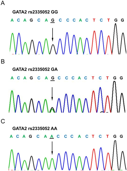 Sequencing results of GATA2 rs2335052 genotypes.