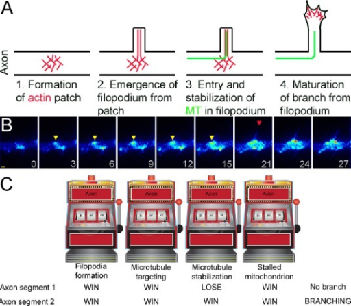 "Overview of the mechanism of sensory axon collateral branching.(A) Sequence of cytoskeletal events underlying axon branching. The first step (1) is the formation of an actin patch, which serves as a precursor to the formation of an axonal filopodium (2; actin filaments shown in red). Next, the plus tip of an axonal microtubule (MT, green) must invade the filopodium and become stabilized (3). Finally, the filopodium undergoes maturation into a branch (4). During maturation the filopodium changes its morphology and actin distribution. The actin filament bundle that characterizes a filopodium is reorganized and the actin filaments become polarized to the tip of the nascent branch, which develops a small growth cone, and the shaft of the filopodium now contains microtubules. For actual examples of actin filament and microtubule distributions at the various stages of branch formation see Figure 2. (B) Time lapse sequence of actin patch formation and filopodia emergence as revealed by eYFP-β-actin imaging along embryonic sensory axons. Time in seconds is shown in panels. Bar = 1 μm. Between 3–15 seconds the actin patch (yellow arrowhead) forms and elaborates, i.e., grows in size and intensity. Between 15–21 seconds a filopodium emerges from the patch (red arrowhead). (C) Proposed conceptual stochastic model for the determination of the site of axon branching. Multiple basic cellular events have to occur in a correct spatio-temporal sequence in order for a branch to form. In the interest of simplicity, the schematic represents a subset of the fundamental required events in branch formation; the formation of axonal filopodia, the entry and stabilization of microtubules into axonal filopodia, and the presence of a stalled mitochondrion. Each one of these basic events is in turn dependent on a complex multi-step biochemical mechanism. In the context of the Ketschek et al (2015) work, the regulation of the phosphorylation of MAP1B by GSK3β in axonal filopodia may contribute to the stabilization of microtubules in filopodia. In the panel, axon segment number 1 ""wins"" all but the stabilization of the microtubules and fails to generate a branch. In contrast, axon segment number 2 ""wins"" all and is able to generate a branch. Image of slot machine used as royalty free stock image from www.dreamstime.com. eYFP: Enhanced yellow fluorescent protein; MAP1B: microtubule associated protein 1B; GSK3beta: glycogen synthase kinase 3beta."