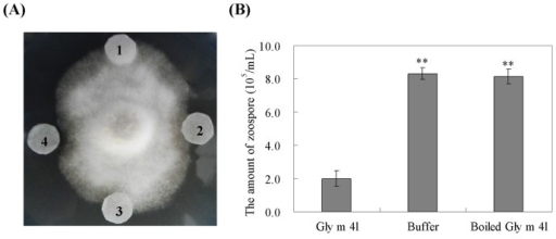Antimicrobial activity of the recombinant Gly m 4l protein.(A) The antimicrobial activity of the recombinant Gly m 4l protein against the hyphal growth of P. sojae. 1, 25 μg boiled Gly m 4l protein. 2, 15 μg Gly m 4l protein; 3, Elution buffer. 4, 25 μg Gly m 4l protein. (B) The antimicrobial activity of the recombinant Gly m 4l protein against zoospore release of P. sojae. The experiments were performed on three technical replicates and statistically analysed using Student's t-test (*P<0.05, **P<0.01). Bars indicate standard error of the mean (SE).