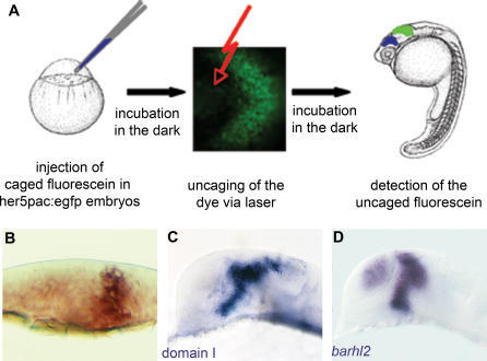 Schematic of the Uncaging Procedure(A) Caged fluorescein is injected into one-cell stage her5pac:egfp embryos. Injected embryos are kept in the dark until the fluorescein is uncaged in 6–10 cells of the diencephalic neural plate at bud stage using a laser beam. After further light-protected incubation, the embryos are fixed at prim5 stage, and the uncaged form of the fluorescein is detected via antibody staining.(B) Transverse section of a neural plate after the uncaging experiment, cells of the whole z-axis are labelled.(C) Result of labelling cells via uncaging in domain I, which correlates mostly with the expression pattern of barhl2 at bud stage.(D) At prim5, labelled areas in the diencephalon resemble the endogenous expression pattern of barhl2.