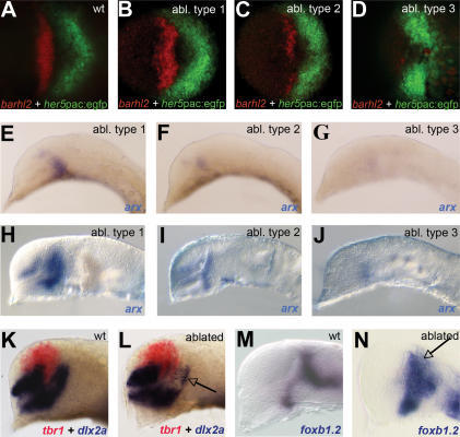 Ablation of Prethalamic Precursors(A–D) barhl2 (red) and her5pac:egfp (green) are shown in (A) wild-type (wt) and (B–D) prethalamus-ablated (abl) embryos 2 h after surgery.(E–G) arx expression at the 12-somite stage and (H–J) prim5 stage in ablated embryos are shown, representing the different ablation types.(K and L) tbr1 is shown in red, and dlx2a in blue; in comparison to the wt (K), the prethalamic expression of dlx2a is reduced in ablated embryos (arrow in [L]).(M and N) foxb1.2 expression at prim 5 shows that mid-diencephalic domains in ablated embryos are not impaired although the expression appears unorganized in the thalamic domain (arrow in [N]).