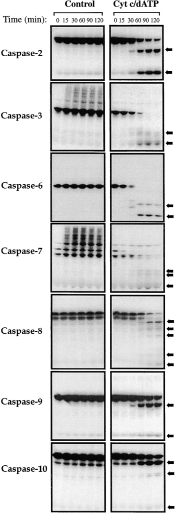 Kinetics of activation of caspases-2, -3, -6, -7, -8, -9, and  -10 in response to cytochrome c. Cell-free reactions were assembled containing the indicated [35S]methionine-labeled caspases  and were incubated with or without 50 μg/ml cytochrome c and  1 mM dATP, as indicated. Reactions were incubated at 37°C and  samples were removed at the indicated times, followed by analysis of caspase processing by SDS-PAGE/fluorography. Cleavage  products are denoted by arrows. To allow direct comparison, all  reactions were set up in an identical manner. Results are representative of a minimum of three independent experiments.