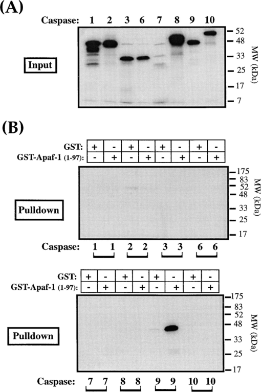 Selective binding of caspase-9 to Apaf-1. Glutathione  Sepharose–immobilized GST-Apaf-11-97 fusion protein (CED-3  homology domain) was assessed for its ability to precipitate the  indicated [35S]methionine-labeled caspases, as described in Materials and Methods. (A) The signal generated by 10% of the total  input amount of each caspase is shown. (B) The total amount of  each caspase precipitated by 6 μg of GST or GST-Apaf-11-97 fusion protein. Identical exposures of each gel are shown to enable  direct comparison.