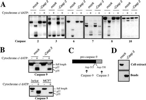 Depletion of caspase-3 from  Jurkat extracts abolishes cytochrome  c–initiated processing of caspases-2, -6,  -8, and -10 and reveals a feedback amplification loop involving caspase-9.  (A) Jurkat extracts were depleted of  caspase-3 as described in Materials and  Methods and were then assessed for  their ability to support processing of  the indicated 35S-labeled caspases.  Caspase processing was assessed after  incubation of extracts for 2 h at 37°C in  the presence of 50 μg/ml cytochrome c  and 1 mM dATP. (B) Caspase-9 processing is impaired in the absence of  caspase-3. (Top) Jurkat extracts were  depleted of caspase-3, or were mock  depleted using a control antibody, and  incubated under similar conditions to  A. (Bottom) Cell extracts were prepared from Jurkat or MCF-7 cells and  were compared for their ability to process caspase-9 to its p37 and p35 forms  in the presence of cytochrome c/dATP.  Caspase-9 was detected by Western blot. (C) Schematic representation of the sites at which caspase-9 and -3 are likely to cleave the  caspase-9 pro-form to produce the p35 and p37 processed forms of caspase-9. (D) Verification of caspase-3 depletion from Jurkat extracts. Equal amounts of mock-depleted or caspase-3–depleted extract (top) or antibody-coupled protein A/G agarose beads used in the  immunodepletions (bottom) were loaded, followed by probing for caspase-3.