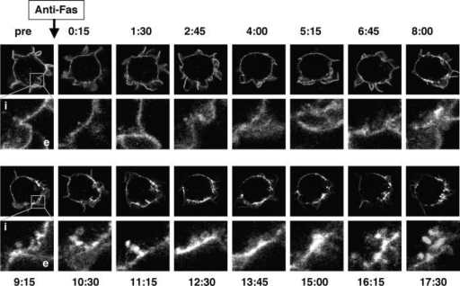 Kinetics of SPOTS formation and internalization of Fas-YFP fusion proteins. (A) Selected frames from a confocal time series of Jurkat cells transfected with wild-type Fas-YFP fusion protein and treated with anti-Fas at the indicated time point (minutes:seconds). Midsection confocal images of the whole cell are shown in the top panels, and an enlarged view of a portion of the plasma membrane is shown at each time point with the intracellular (i) and extracellular (e) compartments in the first frame of each row.
