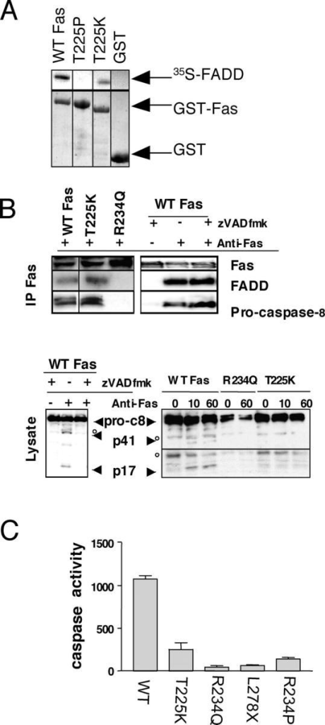 ALPS-associated Fas mutations block SPOTS formation by distinct mechanisms. (A) GST pull-down assay with the indicated mutant Fas DD proteins or GST alone, and 35S-labeled FADD, was performed as described previously (Martin et al., 1999). Vertical black lines divide lanes taken from the same blot. (B) Signaling complex formation and caspase-8 processing in EBV lines from selected Fas mutant ALPS patients and zVAD-fmk treated normal donor-derived cells. EBV cell lines were stimulated with 1 μg/ml of APO-1 anti-Fas mAb for 10 min or the times indicated, and the DISC was immunoprecipitated as described previously (Martin et al., 1999). Caspase-8 cleavage in cell lysates are shown in the bottom panel. Arrowheads denote protein fragments of interest and open circles denote background bands. Vertical black lines divide lanes taken from the same blot. (C) DEVDase effector caspase assay of lysates from EBV-transformed cell lines or ALPS patient EBV cell lines heterozygous for the indicated Fas mutations. Cells were treated for 1 h with 1 μg/ml of APO-1 anti-Fas mAb. Assays were performed as described previously (Martin et al., 1999). Values are the fluorescence of treated minus control for each cell line in arbitrary fluorescence units. Error bars represent the SEM for triplicate measurements.
