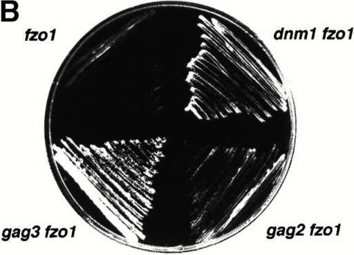 GAG genes participate in mitochondrial fission. A, Cells harboring GFP-labeled mitochondria and mutant for FZO1 alone (strain MYY2005) or together with either dnm1/gag1 (strain MYY2007; left), gag2 (strain MYY2009; center), or gag3 (strain MYY2011; right) mutations were visualized by fluorescence microscopy. B, Cells with the fzo1 mutation (MYY2005) or the double mutants dnm1 fzo1 (MYY2007), gag2 fzo1 (MYY2009), or gag3 fzo1 (MYY2011) were plated on glycerol-medium and cultured for 3 d at 30°C. C, Wild-type (MYY1200), dnm1/gag1 (MYY2013), gag2 (MYY2029), and gag3 (MYY2031) cells with GFP-labeled mitochondria were treated with 0.5 mM sodium azide and examined immediately (top) or after 30 min (bottom) by fluorescence microscopy. Bar, 2 μm.