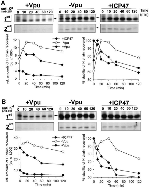 Vpu disturbs an early process in MHC-I biogenesis. Parallel  cultures of HeLa cells were co-infected with VV-Kd expressing mouse H  chain Kd together with VV-Vpu (+Vpu), VV-UDEL1 (−Vpu), or VVICP47 (+ICP47). 2.5 h after infection cells were pulse labeled with  [35S]methionine for 4 min, aliquoted in ice-cold medium, and chased at  37°C for up to 2 h. Half of the cell lysates were immunoprecipitated with  mAb 215 (A) or with anti-Kd serum pAb-ex8 (B). Two rounds of immunocollection were conducted and H chain molecules collected were analyzed by SDS-PAGE followed by fluorography. Only bands corresponding to H chains are demonstrated in the upper part; the quantitation of H  chains detected after sequential collection (1st and 2nd) by means of a  PhosphorImager is demonstrated in the lower part, left histograms. Stability of H chains recovered is demonstrated in the right histograms. Arrows  indicate mature glycosylated H chains detected after 2 h of chase period.