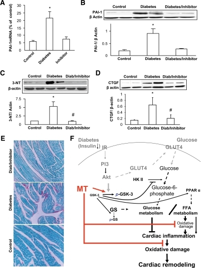 Inhibition of GSK by its inhibitor attenuated diabetes-induced cardiac inflammation, nitrosative damage, and fibrosis. Experimental approaches and cardiac tissue sampling are the same as those in Fig. 6. Samples were examined for cardiac expression of PAI-1 by real-time RT-PCR (A) and Western blotting (B), cardiac 3-NT accumulation (C), and cardiac fibrosis by Western blotting for CTGF expression (D) and Sirius Red staining of collagen (200×) (E). *P < 0.05 vs. corresponding controls; #P < 0.05 vs. corresponding diabetes. F: schematic illustration of the mechanisms by which metallothionein (MT) preserves GSK-3β phosphorylation to maintain glucose and lipid metabolism balance under diabetic conditions and, consequently, inhibit cardiac lipid accumulation, inflammation, oxidative/nitrosative damage, and remodeling. Solid lines present the experimental finding from the present study, and dashed lines indicate well-known pathways from the literature. GS, glycogen synthase; IR, insulin receptor. (A high-quality digital representation of this figure is available in the online issue.)