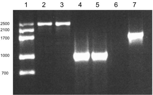 Amplification with conserved and specific oligonucleotides. Lane 1, molecular weight marker. Lanes 2 and 3 correspond to amplification with MA1–MA2 conserved primers, using D. bardawil (LB2538) and β-carotene hyperproducer species isolated from red hypersaline environments in Baja Mexico. Lanes 4 and 5, corresponds to amplification with DBs-MA2 specific-conserved oligonucleotides, from both β-carotene hyperproducers species. Lane 6 corresponds to amplification with DSs-MA2 specific-conserved oligonucleotides, from the LB2538 β-carotene hyperproducer species. Lane 7 corresponds to amplification with MA1–MA2 conserved primers, using 19/30 DNA sample.