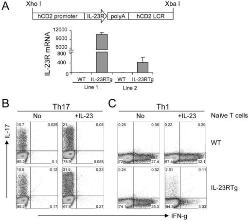 Transgenic expression of IL-23R enhanced Th17 while inhibited Th1 differentiation in vitro(A) Generation of IL-23R Tg mice. IL-23R was driven by an hCD2 promoter under the control of hCD2 LCR. IL-23R mRNA expression was tested in 2 lines. (B-C) Naïve T cells were FACS-sorted from IL-23R Tg or B6 mice and activated under Th17 and Th1 conditions with or without recombinant mouse IL-23. 4 days later, IFN-γ and IL-17 producing cells were analyzed by intracellular staining. Numbers within the quadrants indicate the percentage of positive cells. Data shown represent as least 2 independent experiments with consistent results.