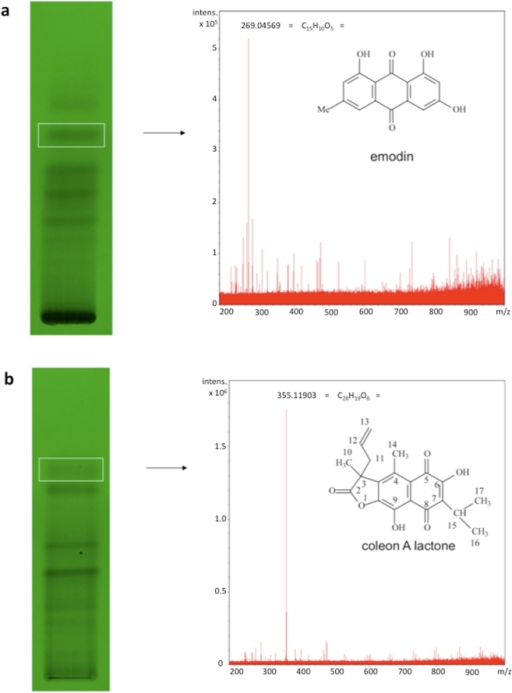 TLC fractionation and HRESIMS analysis identify emodin and coleon AL as bioactive constituents.Thin-layer chromatograms, HRESIMS spectra, and predicted structures of isolated, bioactive compounds. a, O. sinuatum; b, P. barbatus.