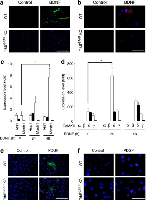 Regenerative capacity of Müller glial cells mediated by TrkB signalling.(a, b) Treatment with BDNF (100 ng ml−1 for 1–2 days) induced expression of nestin (a) and Mash1 (b) in cultured Müller cells from WT but not TrkBGFAP KO mice. (c, d) Expression of Hes1 and Mash1 (c) and CaMKII (d) in BDNF-treated Müller cells from WT (white bar) and TrkBGFAP KO (black bar) mice. Note the upregulation of CaMKIIδ and Mash1 in WT but not TrkBGFAP KO Müller cells. Data are shown as the mean+s.e.m. (n=4). *P<0.01. (e, f) Treatment with platelet-derived growth factor (PDGF; 50 ng ml−1 for 24 h) induced expression of nestin (e) and Mash1 (f) in cultured Müller cells from WT and TrkBGFAP KO mice. Scale bars, 150 μm (a, e) and 50 μm (b, f).