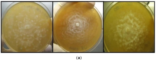 (a) Growth patterns of Halophytophthora isolates; (b) Sporangia produced by some of the Halophytophthora isolates; (c) Zoospores of a Halophytophthora isolate.