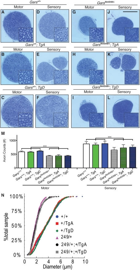 neither motor nor sensory axon loss in nmf249/+ mice is | open-i, Muscles