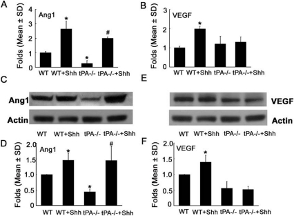 The effect of rhShh on expression of VEGF and Ang1 in wild-type and tPA−/− MBECs.Real-time RT-PCR (A, B) and Western blot (C to F) analyses showed that rhShh robustly increased Ang1 (A, C, D) and VEGF (B, E, F) expression in wild-type (WT) MBECs. Knockout of tPA (tPA−/−) substantially reduced Ang1 expression compared with wild-type MBECs (A, C, D), whereas incubation of tPA−/− MBECs with rhShh completely rescued Ang1 expression (A, C, D). However, incubation of tPA−/− MBECs with rhShh did not elevate VEGF expression, although knockout tPA significantly reduced VEGF protein levels (B, E, F). * p<0.05 versus the WT group, # p<0.05 versus the tPA−/− group. (n = 3/group). MBECs = mouse brain endothelial cells.