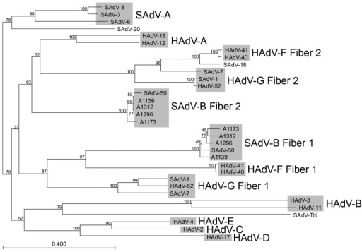 Neighbor-joining alignment of amino acid sequences for the fiber knob domains of macaque adenoviruses (5 representative members of simian adenovirus type B [SAdV-B]) and representative members from each human adenovirus (HAdV) species, with bootstrapping at 1,000 replicates. Alignment was performed by using CLC Bio version 6.1 software (CLC Bio, Aarhus, Denmark). Bootstrap values (percentages) are indicated on the nodes. SAdV-1 and SAdV-7 have been grouped together with HAdV-52 into HAdV-G; the other macaque adenoviruses (except for SAdV-18, SAdV-20, and the titi monkey adenovirus) have been grouped into SAdV-A and SAdV-B. Scale bar indicates number of substitutions per site.