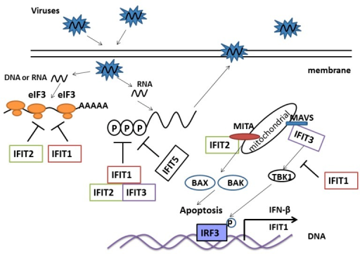 Antiviral and immune regulated function of IFIT family genes. IFIT1 and IFIT2 directly bind eIF3 and suppress transcription of virus genes. IFIT1, IFIT2 and IFIT3 form a complex in cytoplasm that recognizes and kills PPP-RNA. IFIT5 may also kill PPP-RNA directly. IFIT1 disrupts the interaction of MITA, MAVS and TBK1, which then negatively regulates the cellular antiviral response. IFIT2 interacts with MITA, and induces apoptosis via the mitochondrial pathway that is induced by the innate immune response. IFIT3 bridges TBK1 to MAVS in mitochondria, which synergizes the activation of IRF3 and NF-κB to activate the immune response.
