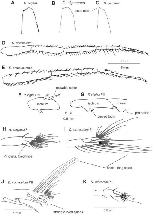 General morphological characters: scaphocerite (A–C), maxilliped III (D–E), ischium of pereopod I (F), ischium and merus of pereopod II (G), chelae of pereopod II (H, I), chelae of pereopod III (J, K).